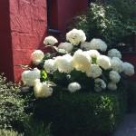 Home exterieur hortensia hydrangea végétaux-59-nord Home extérieur architecte paysagiste Laurent Meriguet Lambersart Lille 59 Nord Hauts de France